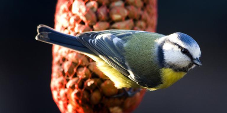 Veel pimpelmezen op eerste dag vogeltelling