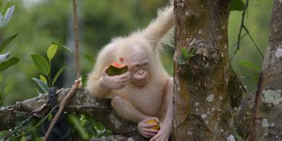 Vrijheid voor zeldzame witte orang oetan