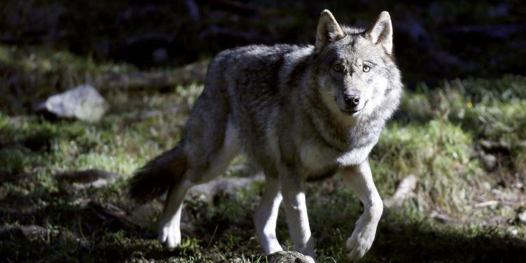 Een groep mountainbikers denkt een wolf te hebben gesignaleerd in het bos tussen Exloo en Borger.