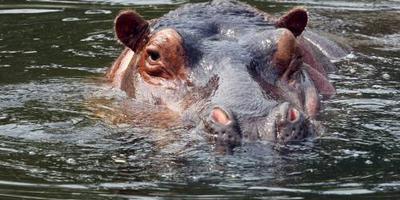 Zambia wil 2000 nijlpaarden ruimen