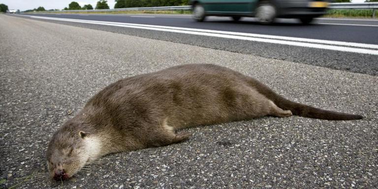 De otter op deze foto is een andere dan die de Dierenambulance vanochtend bij Huis ter Heide aantrof. FOTO ANP
