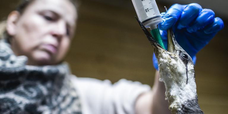 Op de Nederlandse Noordzeekust zijn veel dode en verzwakte zeekoeten aangespoeld. Foto: ANP