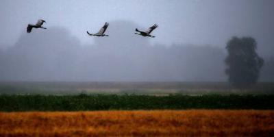 Meer broedende kraanvogels in Nederland