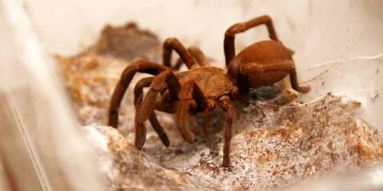 Man in Singapore heeft 98 tarantula's in huis