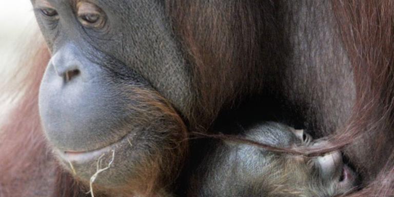 Orang-oetan ernstig bedreigd