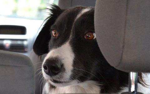 Dierenbescherming waarschuwt: 'Laat je hond niet achter!' Zo snel wordt een geparkeerde auto heet in de zon