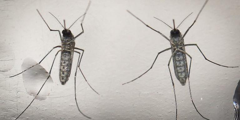 Muggenradar voorspelt overlast muggen