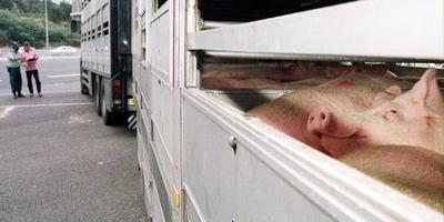 Laag risico op komst Afrikaanse varkenspest