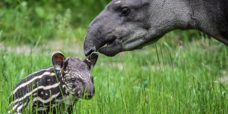 Artis verwelkomt twee tapirs