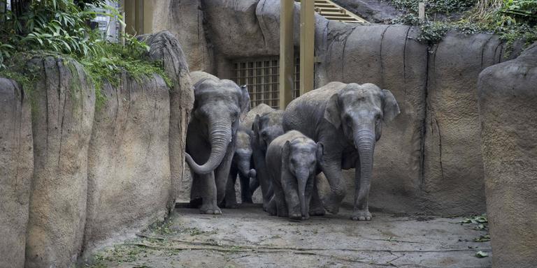 Olifanten in nieuwe verblijf Wildlands. FOTO DVHN
