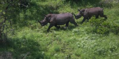 Minder neushoorns gestroopt in Zuid-Afrika