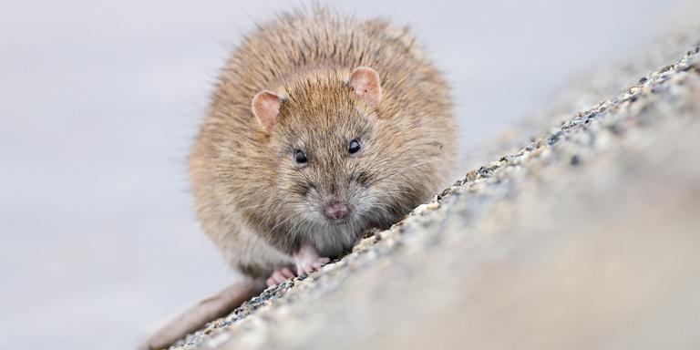Bij de sluis huist rat met voorraadje walnoten