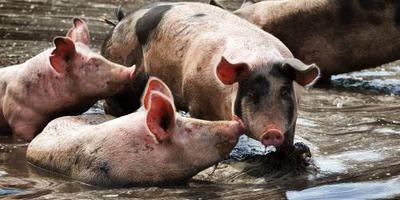 Antibiotica bij gezonde dieren vormen een groeiend probleem, aldus de WHO.