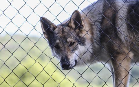 Hans Wiegel slaat dinsdag de eerste paal voor het wolvenhek.