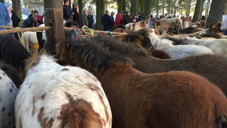 Op de 818e Zuidlaardermarkt in Zuidlaren zijn vergeleken met vorig jaar fors minder paarden aangevoerd. Foto: DvhN