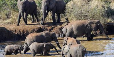 Botswana overweegt vrijgeven olifantenjacht