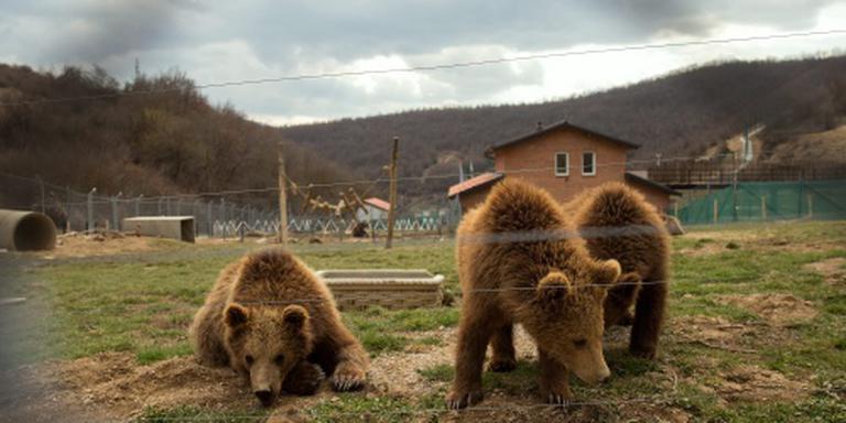De beer is letterlijk los in Slowakije