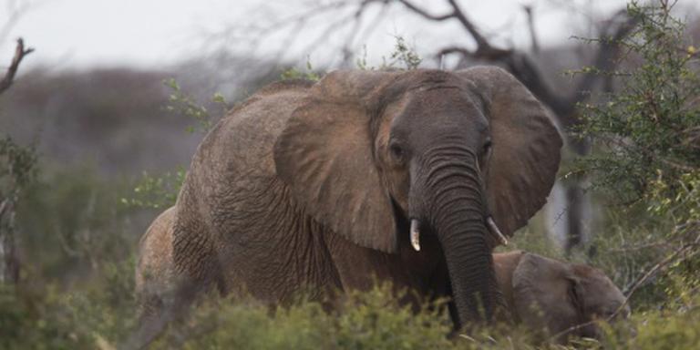 Een vijfde minder Afrikaanse olifanten