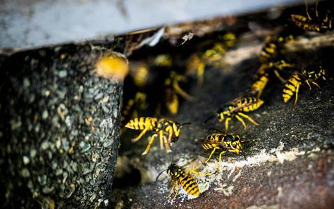Nature Today: weinig wespen door combinatie van weersextremen