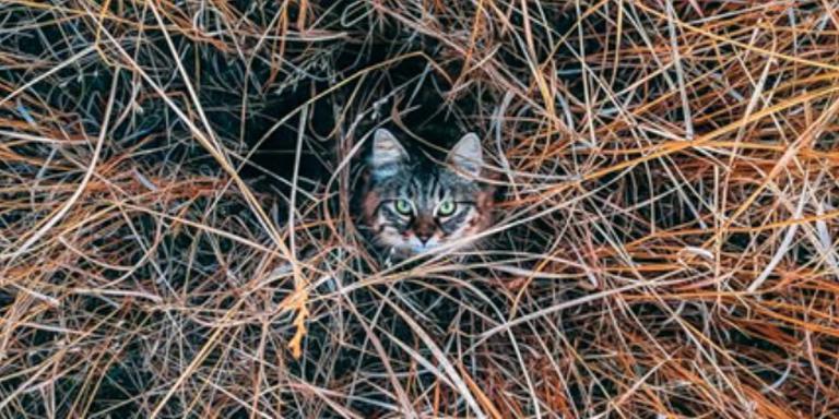 Zwerfkatten richten elk jaar een slachting aan onder weidevogels. Foto: Archief DvhN
