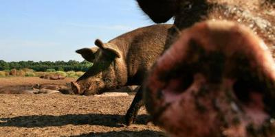 Brand op groot varkensbedrijf in Heusden