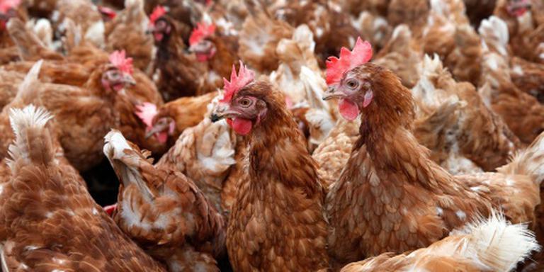 Duizenden kippen dood door brand Buurmalsen