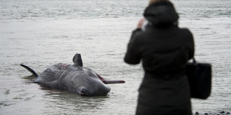 Potvissen van strand Texel gehaald