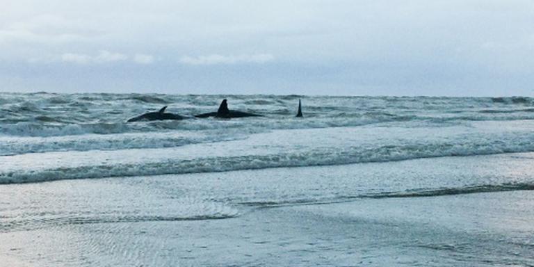 Potvissen uit Westerschelde terug naar zee