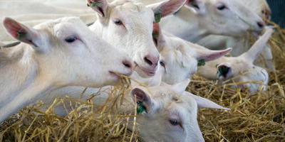 Weer relatie tussen geiten en longontsteking