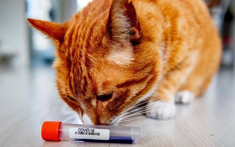Onderzoekers injecteren katten met corona om besmettelijkheid te testen