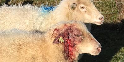 Van één schaap is het oor helemaal afgebeten. Foto: DvhN