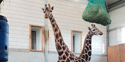 De twee giraffen in Wildlands. Het (nu nog) kleinste dier is de hengst. Foto: Wildlands