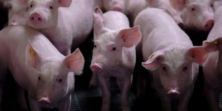 Duitse CDU wil recht op varkensvlees
