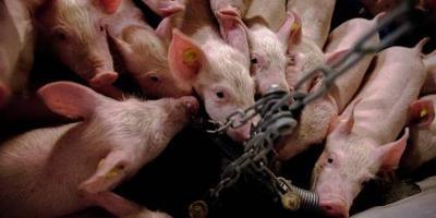 'Misstanden varkensstallen standaardpraktijk'