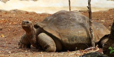 Schildpad op Galapagos toch niet uitgestorven