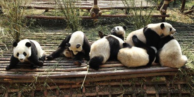 Chengdu begroet pandababy