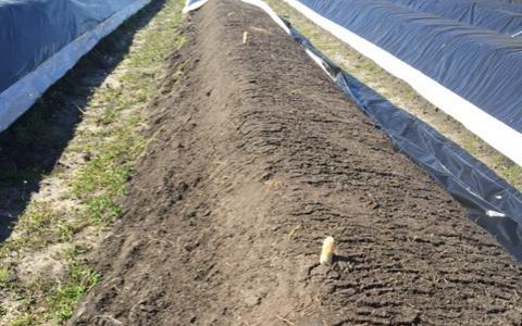 De asperges groeien amper op het land van Schuring in Hooghalen.