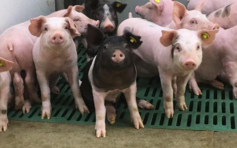 Biggen van 5 weken oud van varkenshouder Sabine Grobbink. Ze zijn net van de moedermelk en eten fijne brokken.