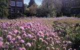 Stephan heeft van een heet en dood dak een paarse oase gemaakt: 'Veel bijen leven van de bieslookbloemen'