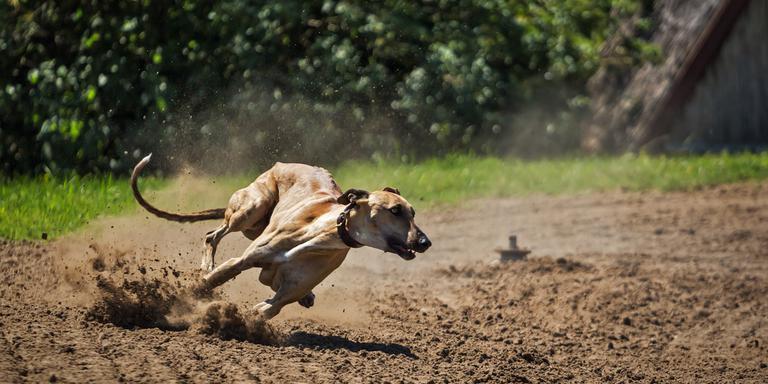Een windhond in actie. FOTO PIXABAY