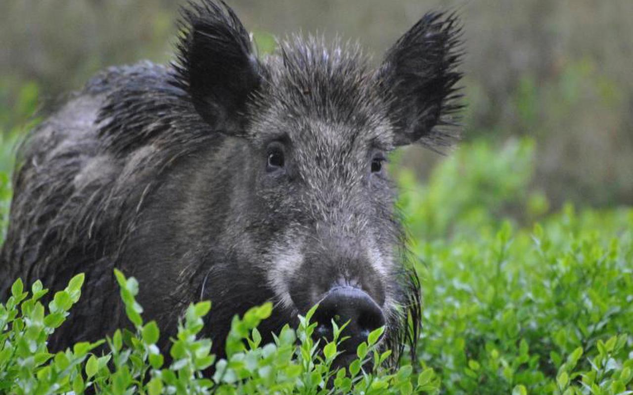 Een wild zwijn, in jagerskringen gewoon varken genoemd, op de Veluwe.