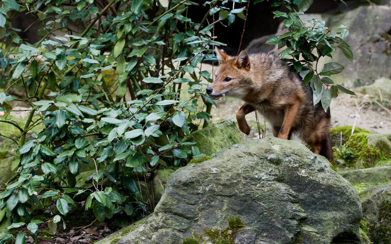 De goudjakhals, ook wel rietwolf genoemd. Foto via Cindy de Jonge