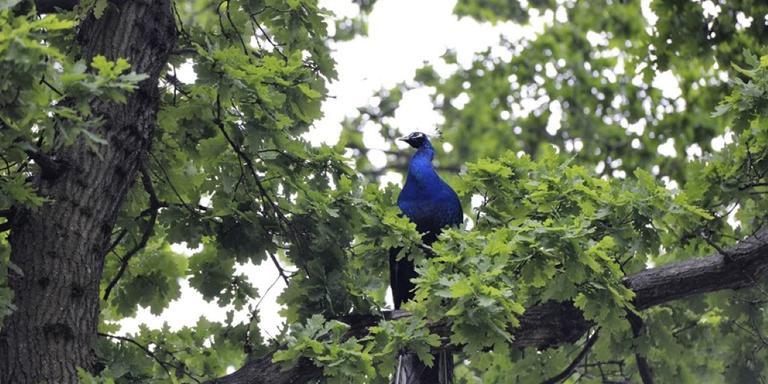 De pauw zat hoog in een Zuidlaarder boom. FOTO VAN OOST MEDIA