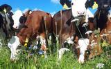 Koeien van biologische melkveehouder Peter Oosterhof in Foxwolde.