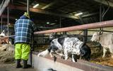 Speurhonden helpen zorgboerderij in Aduard met een zoektocht naar Sky. Deze Friese stabij is al twee weken spoorloos