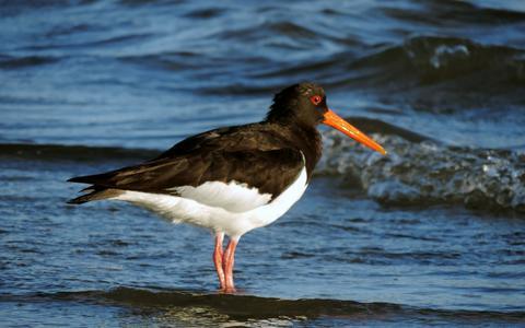 Scholekster in de Waddenzee.
