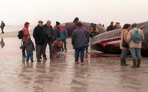Kadaver van walvis bij Schiermonnikoog moet geen publiekstrekker worden. Plek wordt afgesloten voor publiek