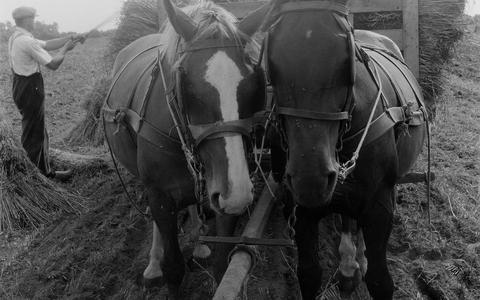Paarden tijdens de oogst.