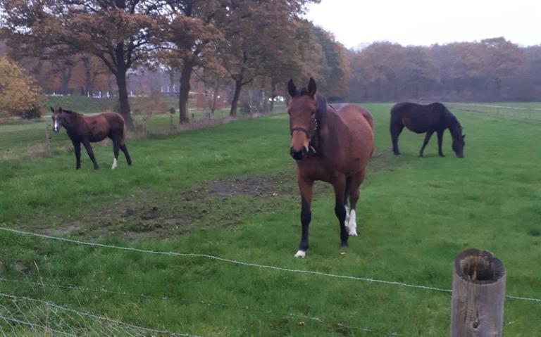Paarden ontsnapt in de buurt bij theehuis in Havelte
