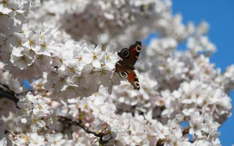 Prachtig lenteplaatje: bloesem volop in bloei in het centrum van Hoogeveen (maar wees er snel bij als je een bloesemselfie wilt maken)